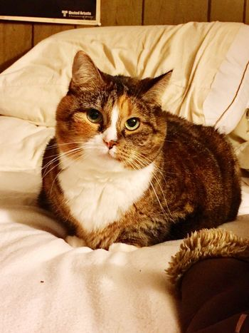 Domestic Cat Domestic Animals Pets Animal Themes One Animal Looking At Camera Mammal Bed Indoors  Feline Portrait No People Bedroom Close-up Day Missy Kent Ohio