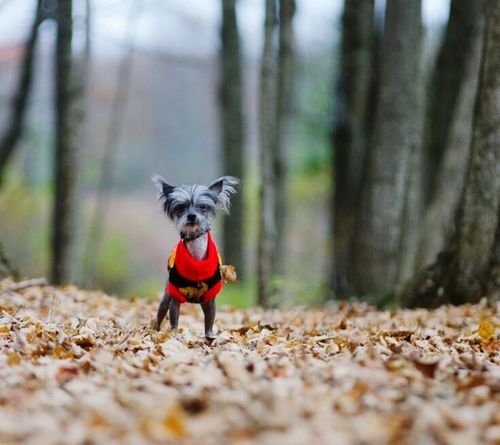 Odin Chinese Crested Dog Chinese Crested Dog❤ Fall Dog In A New Sweater