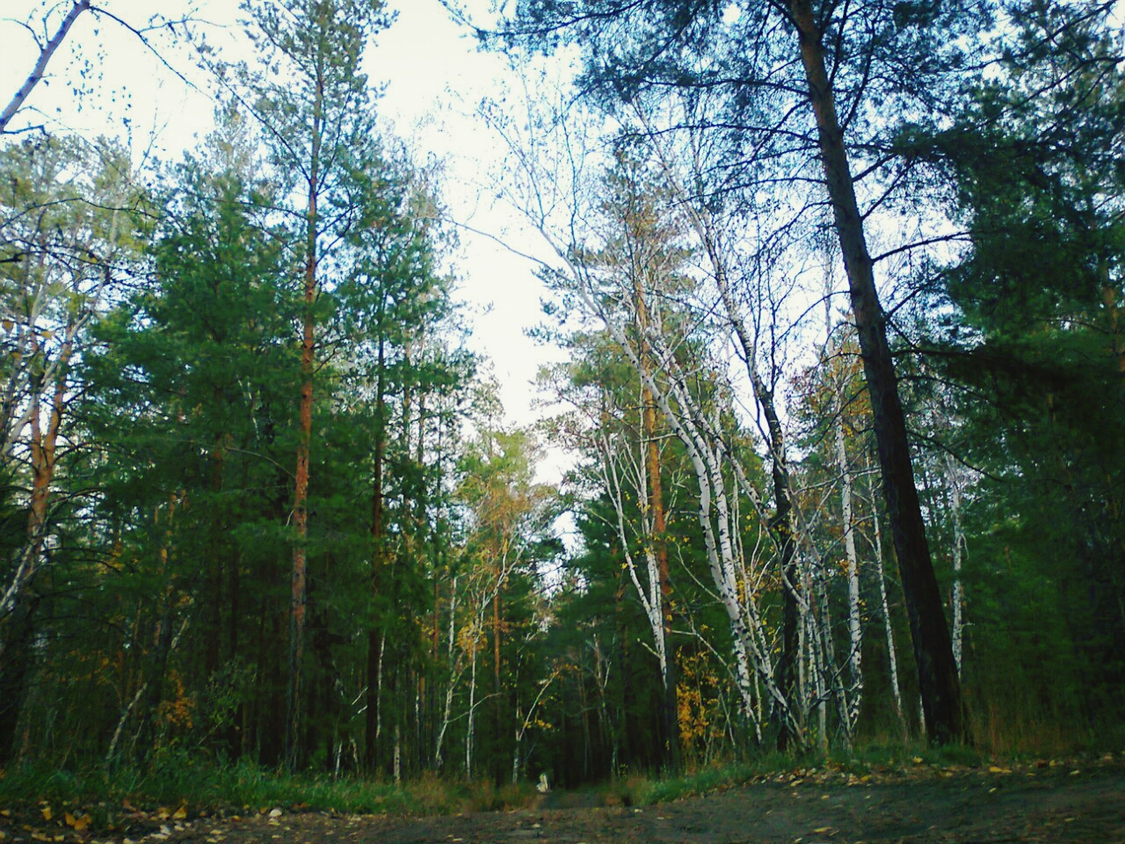 tree, forest, tranquility, growth, tree trunk, woodland, tranquil scene, nature, beauty in nature, low angle view, scenics, branch, non-urban scene, day, sky, outdoors, tall - high, no people, green color, landscape