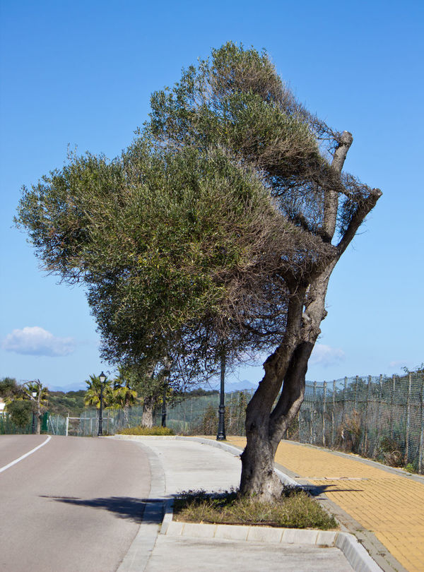 Windswept olive tree, Alcaidesa, Spain Blue Sky Composition Day Growth Landscape Nature Old Olive Tree Old Olive Tree Blue Sky Olive Tree Olive Tree Landescape Olive Trees Outdoors Perspective Plant Tree Tree Windswept Windswept Windswept Olive Tree Windswept Tree Windswept Trees