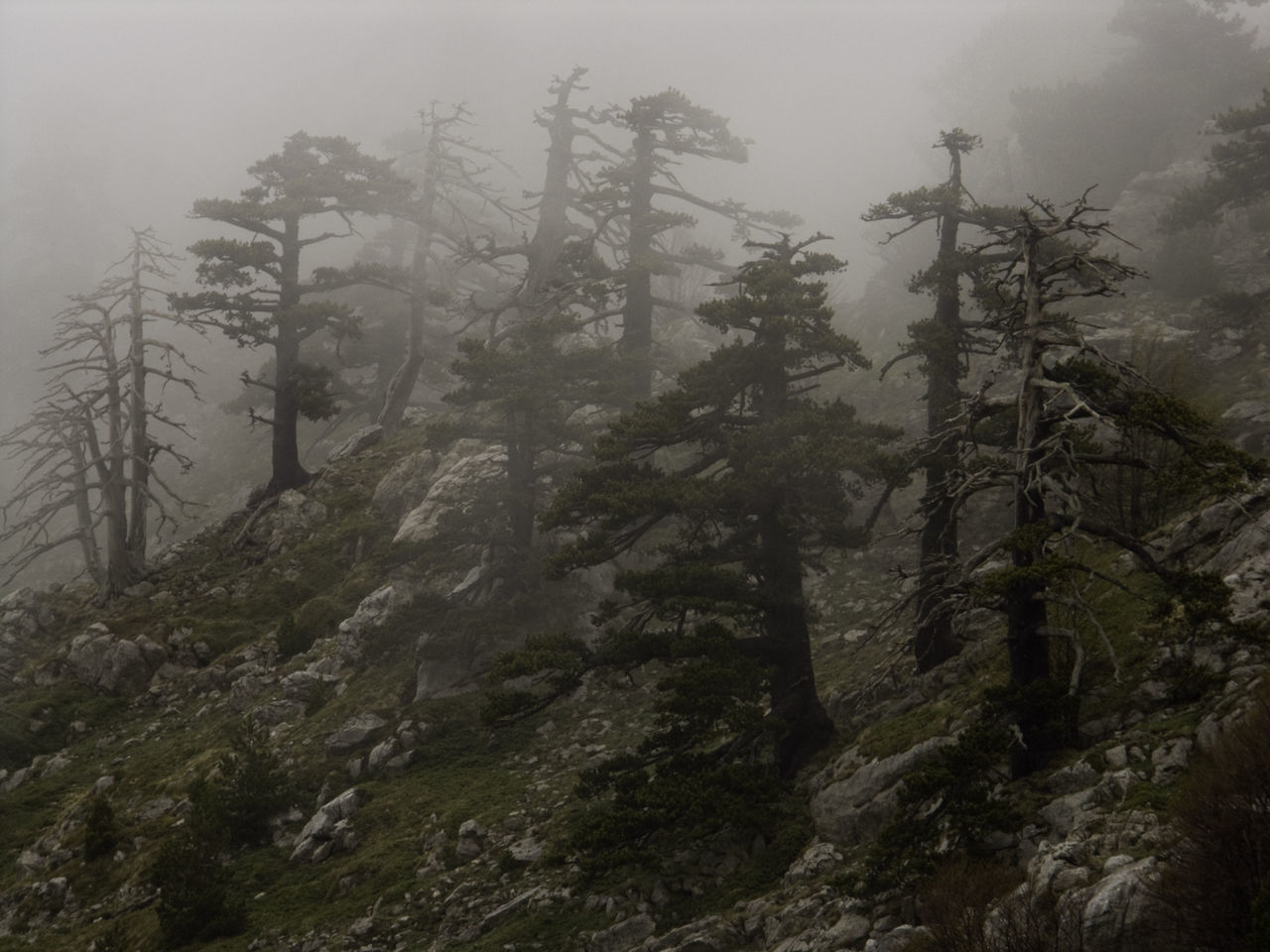 Idyllic Shot Of Pine Trees On Hill In Foggy Weather