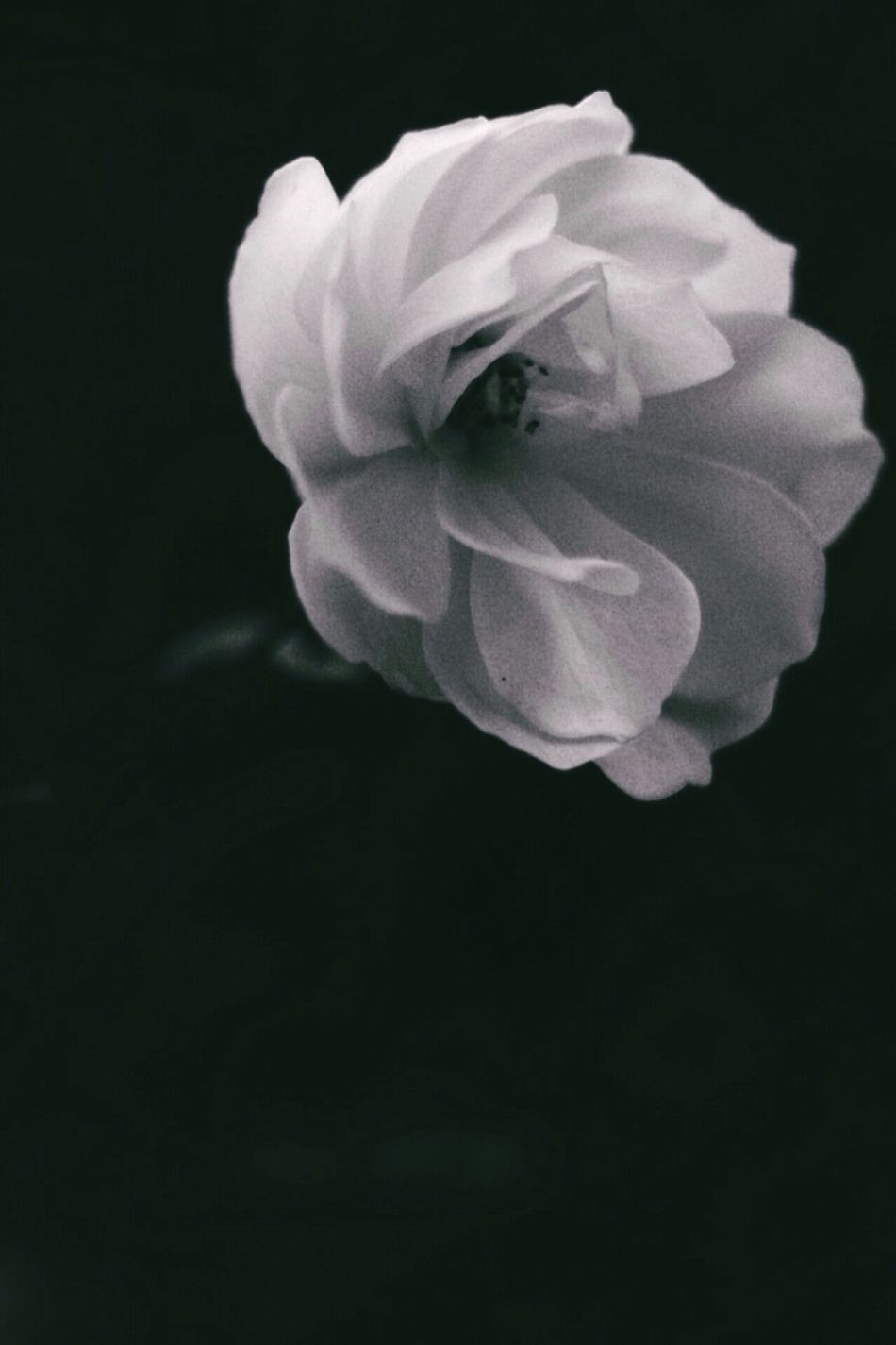 Flower Fragility Petal Nature Beauty In Nature Close-up No People Flower Head Plant Freshness Black Background Outdoors Day Blackandwhite Monochrome Afterdark Winter Blooms White Rose Beauty In Nature Fragile Black And White Blackandwhite Photography