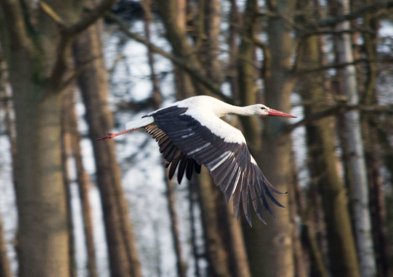Up in the air Beauty In Nature Bird Elegance In Nature Flying Flying Bird Flying By In The Air Majestic Creature Mid-air Nature One Animal Outdoors Weißstorch White Stork Wildlife Zoology