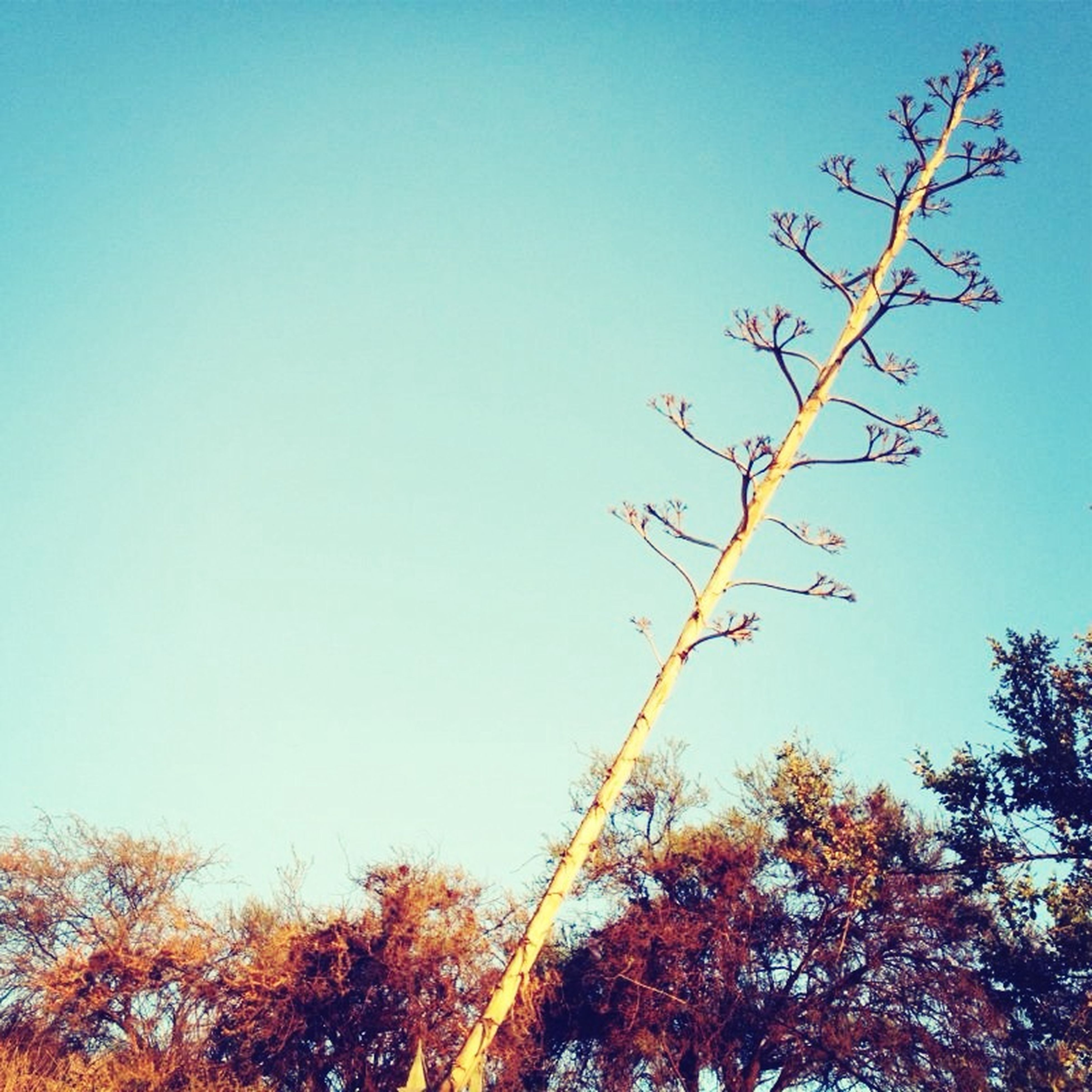 clear sky, tree, low angle view, branch, copy space, blue, nature, growth, tranquility, beauty in nature, high section, outdoors, scenics, day, no people, bare tree, treetop, tranquil scene, leaf, autumn