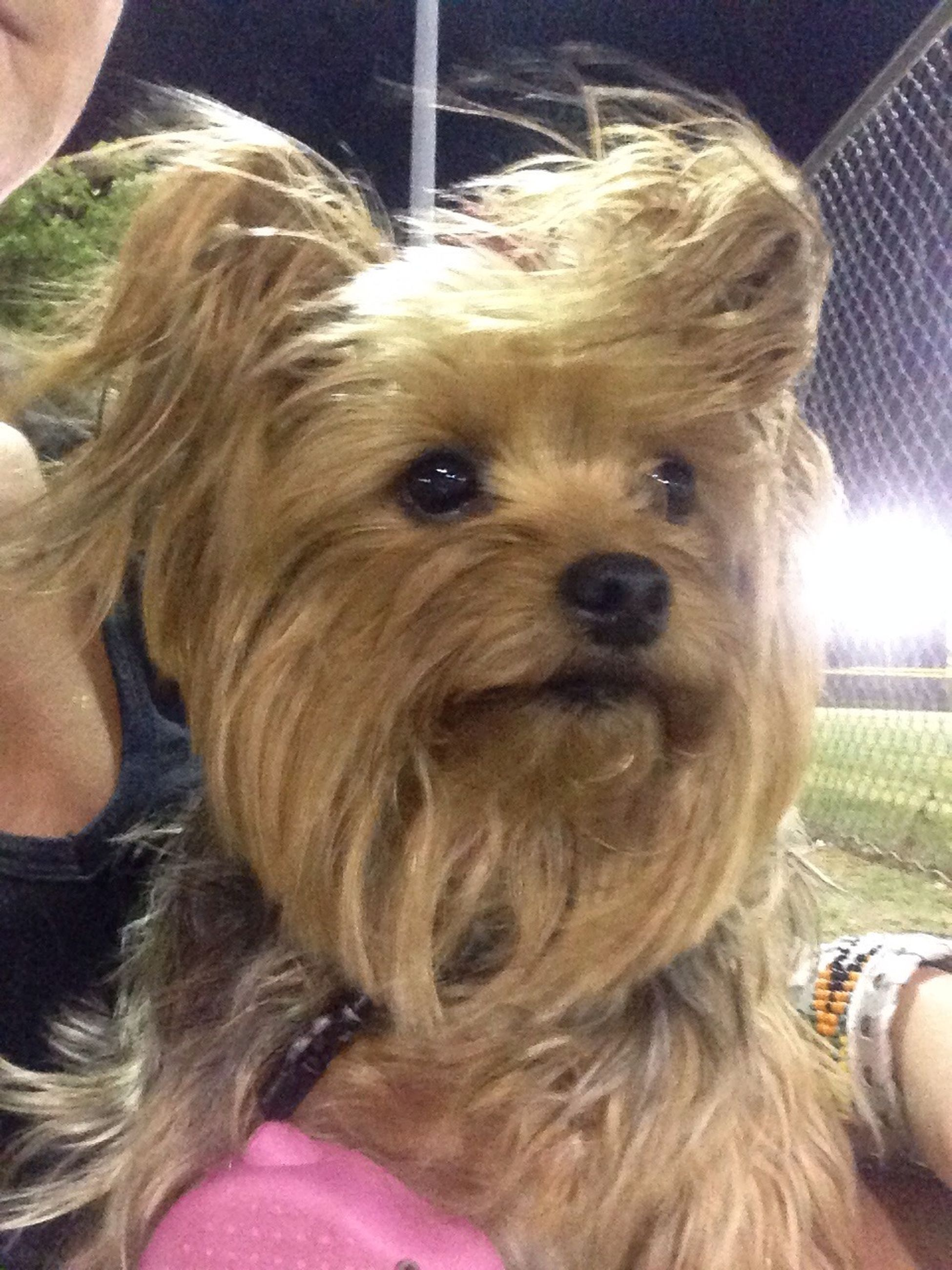 My little Yorkie Miley! Love her to pieces! My Dog Watching Softball