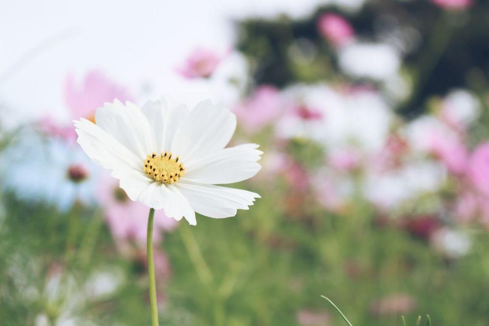 はじめての投稿です。よろしくお願いします🌼 Flower Day コスモス はじめまして Nice To Meet You First Eyeem Photo