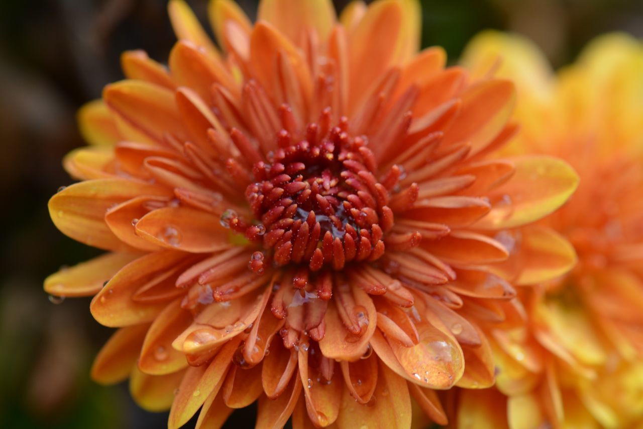 flower, petal, fragility, beauty in nature, orange color, flower head, growth, freshness, nature, close-up, focus on foreground, no people, plant, blooming, pollen, outdoors, day, yellow