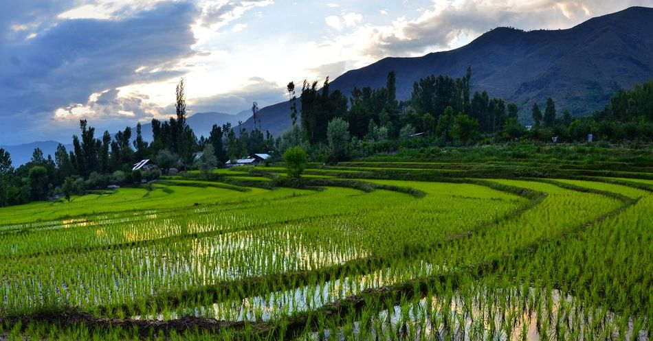 The Rice Fields Of Kashmir Rice Field Farming Step Farming Kashmir Srinagar  Pakistan Nature Landscape Outdoors Revoshots IExploreKashmir Mountain Himalayas Solace Peace View Valley Beauty In Nature Cloudscape Green Green Green!  Scenics Bandipore Tranquil Scene Travel Destinations Non-urban Scene