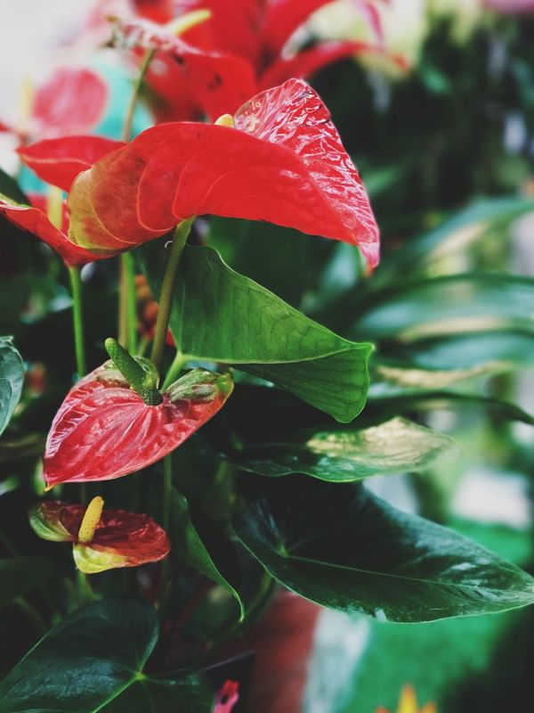"""""""Let us dance in the sun, wearing wild flowers in our hair..."""" Flower Nature Petal Close-up Focus On Foreground Red Beauty In Nature Leaf Plant Shotoniphone7plus VSCO Vscogood Vscocam Vscodaily Portraitmode Vscophile Lensblur Bokeh EyeEm Best Shots"""