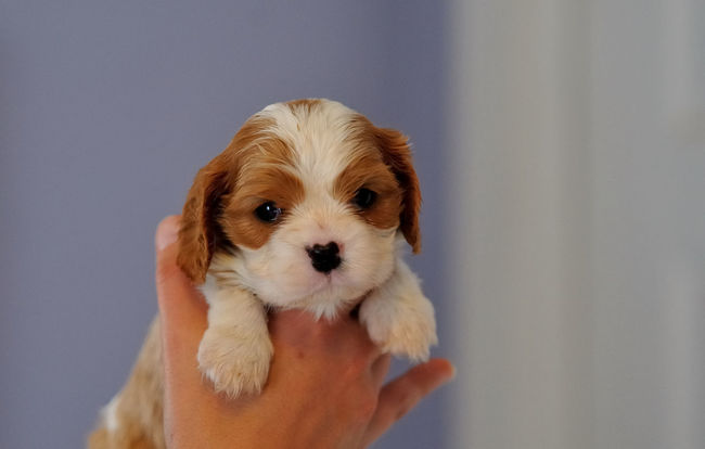 Amazing Cavalier Puppy !!! WOW !!! Amazing Animal Head  Animal Themes Blenheim Cavalier King Charles Spaniel Champ Ckcs Close-up Dog Loved Pup One Animal Pets Portrait Puppy