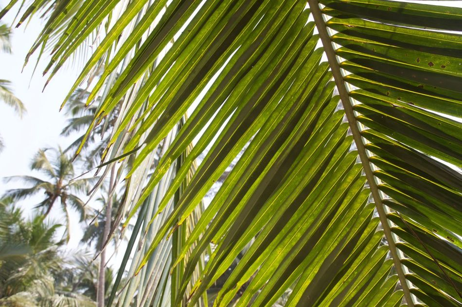Ashvem Ashvem Beach Background Backgrounds Beauty In Nature Close-up Day Desktop Goa Green Green Color Growth India Leaf Low Angle View Nature No People North Goa Outdoors Palm Tree Tree Tropical Tropical Climate Tropical Paradise Tropical Plants
