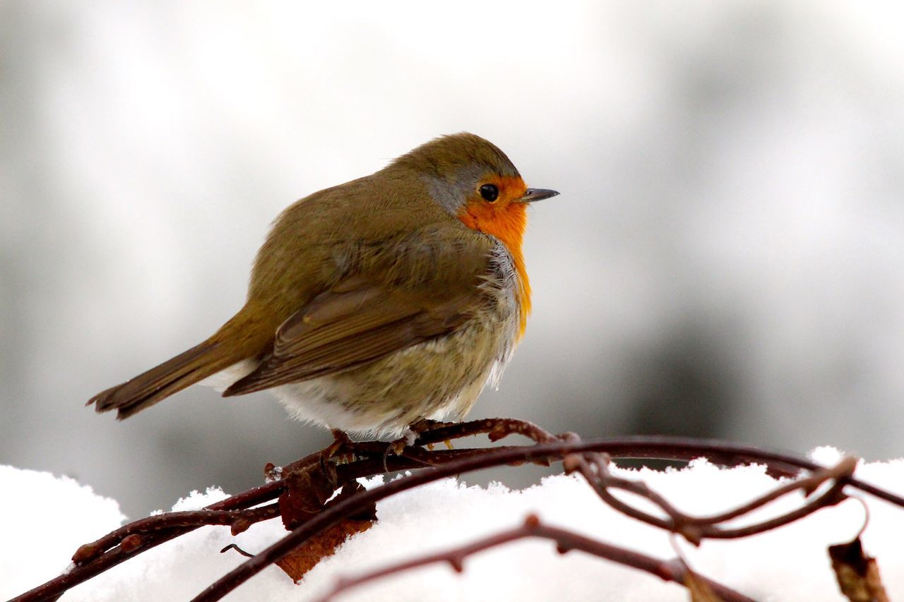 Beautiful stock photos of christmas, Animal Themes, Animal Wing, Animals In The Wild, Bird