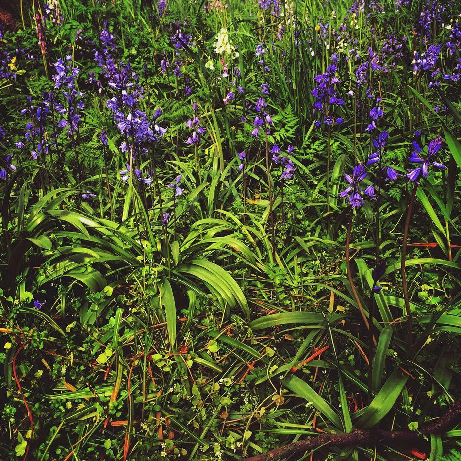 Bluebells Green Foliage Picking Flowers  Gardening Enjoying The Sun