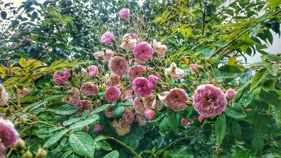 I Took Many Photos of Flowers and Roses, This one is One of them.A Rainy Day in Belle-Vue Takingphotos Nature Photography Photo EyeEm Firsteyeemphoto Helloworld Hello World Roses Rain Tree Forest Pink Green