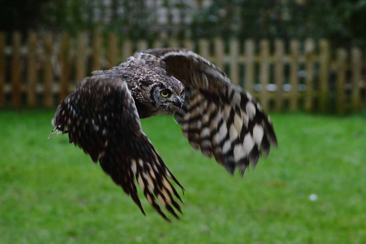 animal themes, one animal, animals in the wild, bird, spread wings, animal wildlife, focus on foreground, outdoors, nature, day, no people, flying, close-up, grass, bird of prey