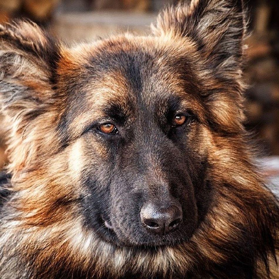 Вы, собственно, к кому? собака овчарка Dog Insta_dogs