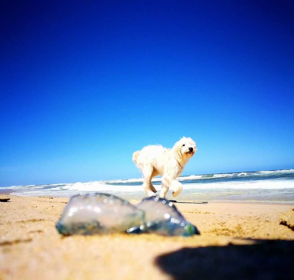 EyeEmNewHere Scenics Blue Not My Dog Domestic Animals Day Outdoors Water No People One Animal Animal Themes Mammal Western Cape South Africa Tranquil Scene Clear Sky Sky Nature Sea Beach Photo Bomb BlueBottle Portuguese Man O' War Running Mans Best Friend