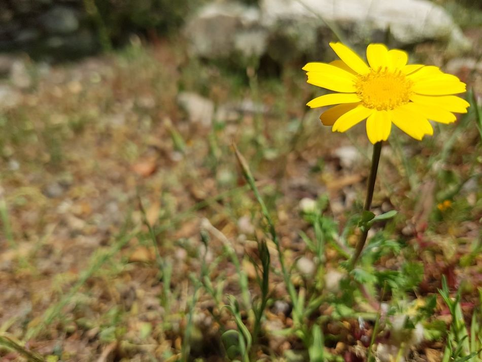 Flower Yellow Plant Nature Fragility Flower Head Wildflower Uncultivated Outdoors Day Petal Field Freshness
