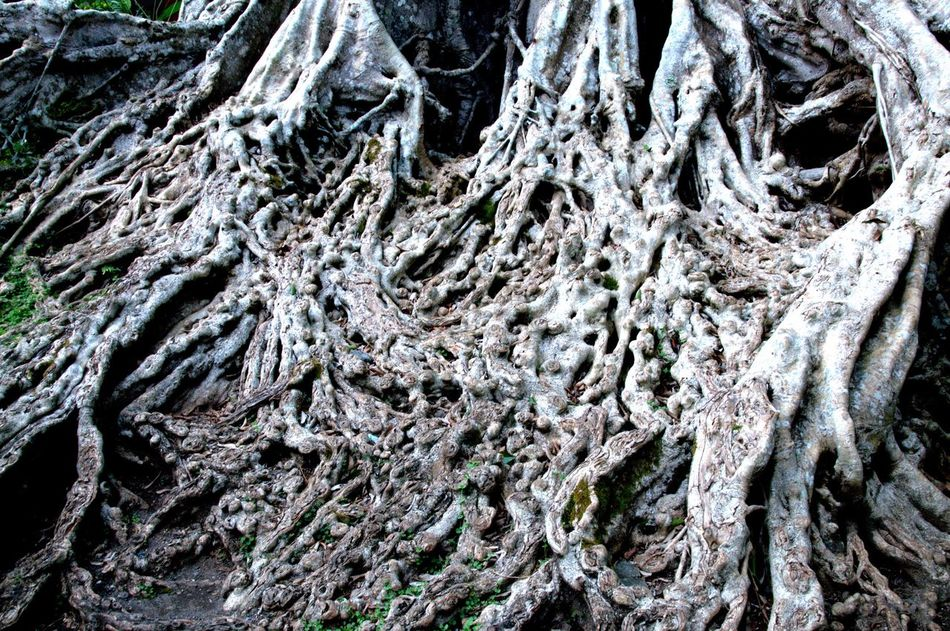 Sacred Ficus Tree Aerial Roots Pura Tirta Empul Temple Vishnu Gianyar Bali, Indonesia Tree Ancient Centenarian Roots Large Horizontal Outdoors Nobody Dendrology