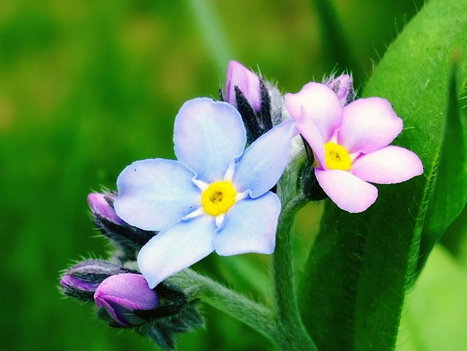 Flower Petal Plant Freshness Nature Fragility Flower Head Beauty In Nature Forget Me Not Forget Me Nots Pink Blue Green Macro Pink And Blue Blue And Pink Flowers Close-up Growth Leaf Blossom Day No People Outdoors Beauty