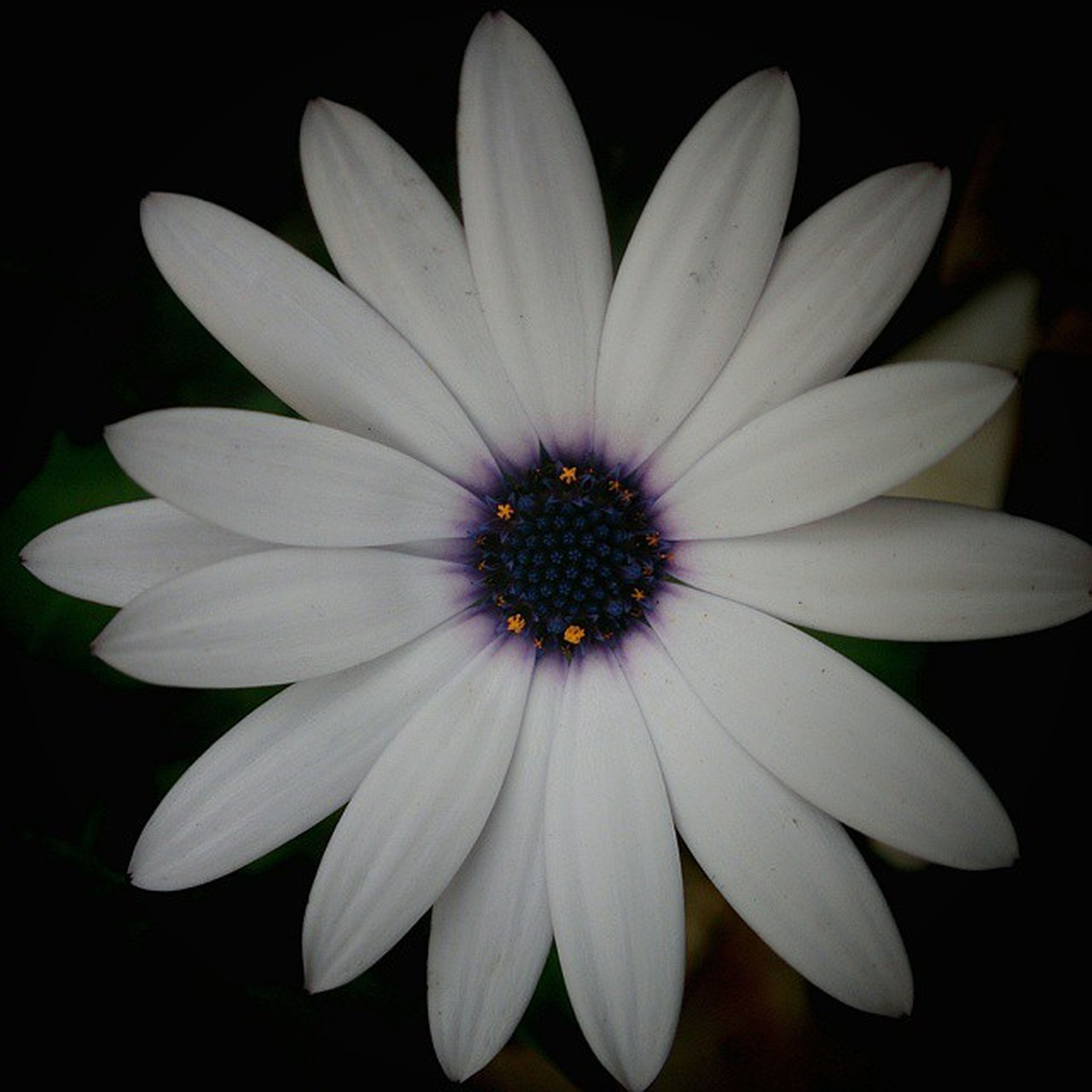 flower, petal, flower head, freshness, fragility, single flower, studio shot, beauty in nature, black background, pollen, close-up, white color, growth, nature, daisy, blooming, in bloom, no people, white, stamen