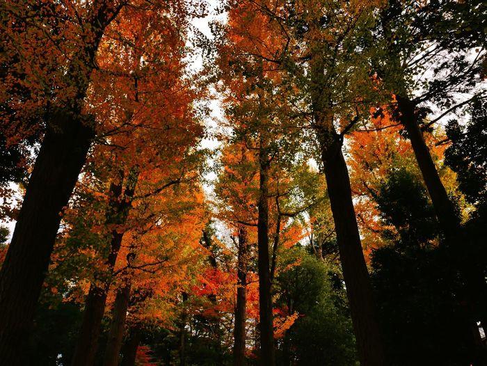銀杏❤︎ Beautiful Nature