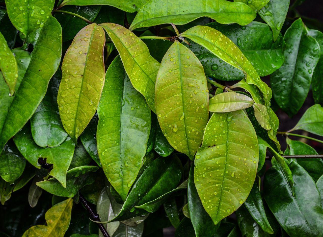 Full Frame Shot Of Wet Leaves During Monsoon