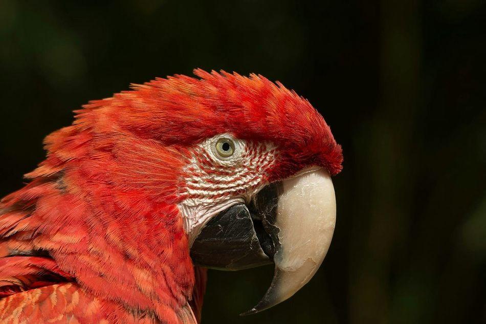 Beautiful stock photos of parrot, Animal Beak, Animal Body Part, Animal Head, Animal Themes