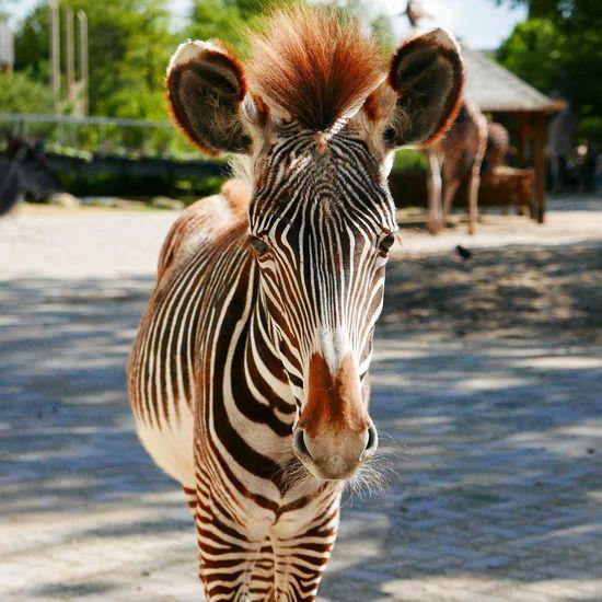 Day the zoo - nr. 2 Animals Zebra Zebra Stripes Hello Up Close Beautiful Day Zoo Artis  EyeEm Best Shots Eye Contact