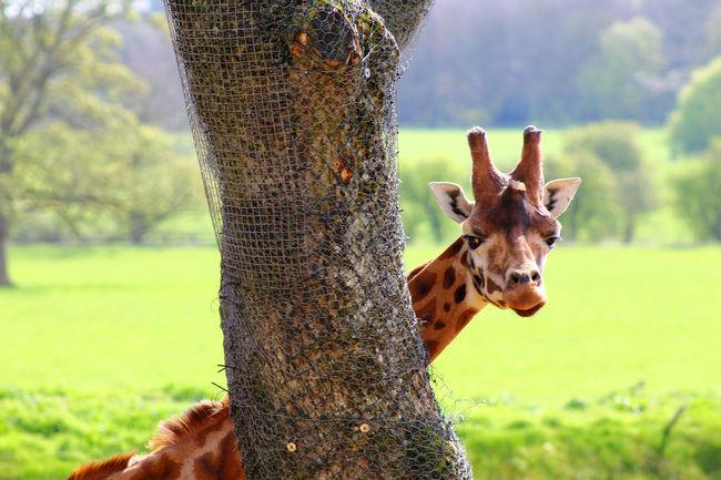Animal Head  Giraffe Herbivorous Looking At Camera Tree Trunk Zoology Giraffes Giraffe♥ Giraffe ♡ Giraffes! Giraffe Head Wildlife Photography Zoo Animals  Zoo Photography