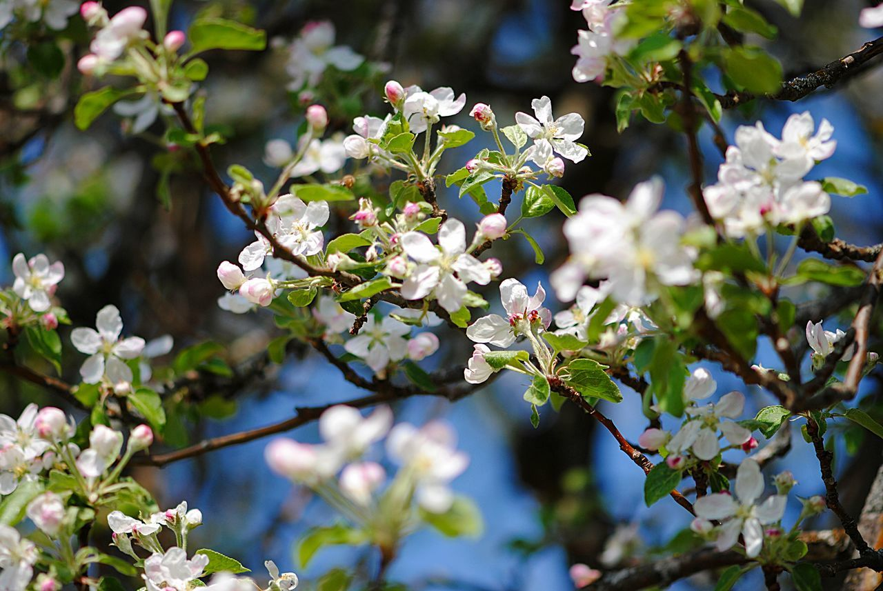 flower, growth, tree, fragility, branch, nature, beauty in nature, apple tree, apple blossom, blossom, day, white color, freshness, botany, springtime, orchard, no people, twig, petal, focus on foreground, outdoors, leaf, close-up, flower head, blooming