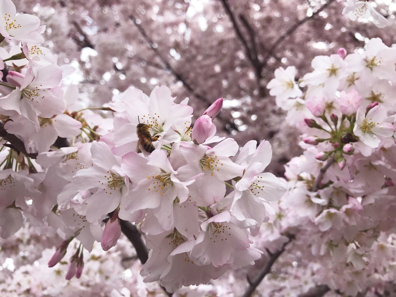Flower Tree Springtime Blossom Growth Nature Freshness Fragility Beauty In Nature Branch Close-up Petal Bee Pollination Bee Pollinating Ashland, OR Pink Tones Pink Color Cherry Tree Outdoors Beauty In Nature