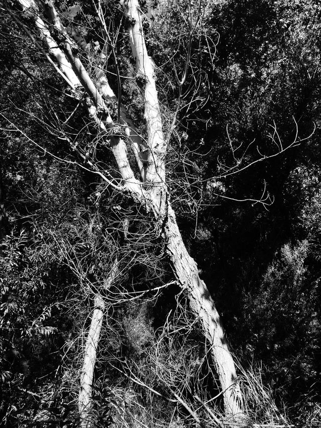 Big Morongo Canyon Preserve Walking Around Hiking Outdoors Nature Monochrome Blackandwhite Trees