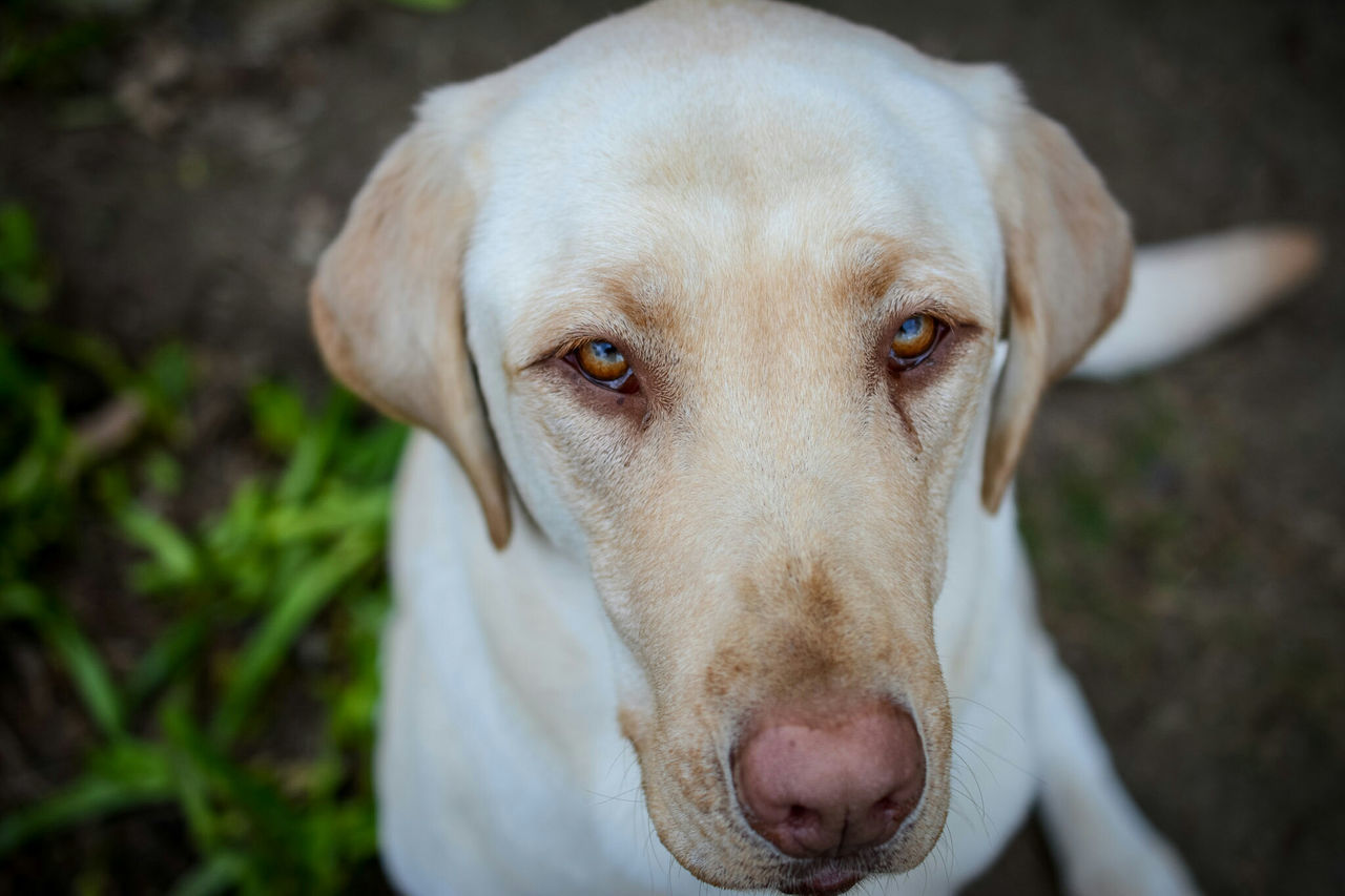 My yellow lab, Tank Depth Of Field Beauty In Nature Yellowdog Yellowlab Retreiver Handsome Good Boy Good Dog Command Sit Sitting Obedient Obedience Puppy Love Puppy Dogs Of EyeEm Dog Love Tank Labrador Labrador Retriever LabradorLove Dog Dogslife Hi! Close-up