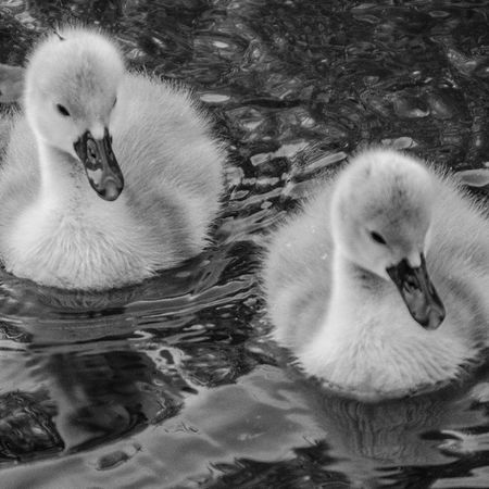 Swans Babyswans Birds Ducks Wildlife