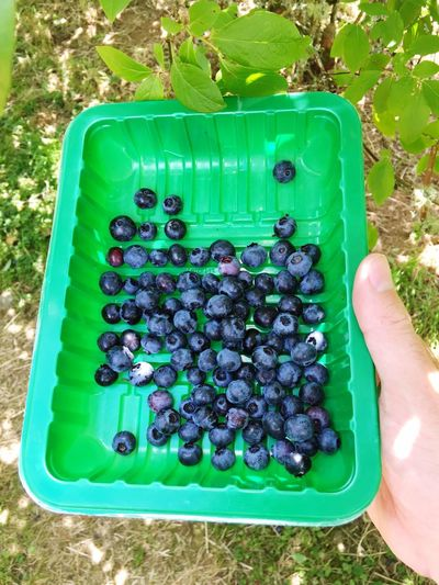 Picking blueberries Blueberries Picking Berries Berries Fruit
