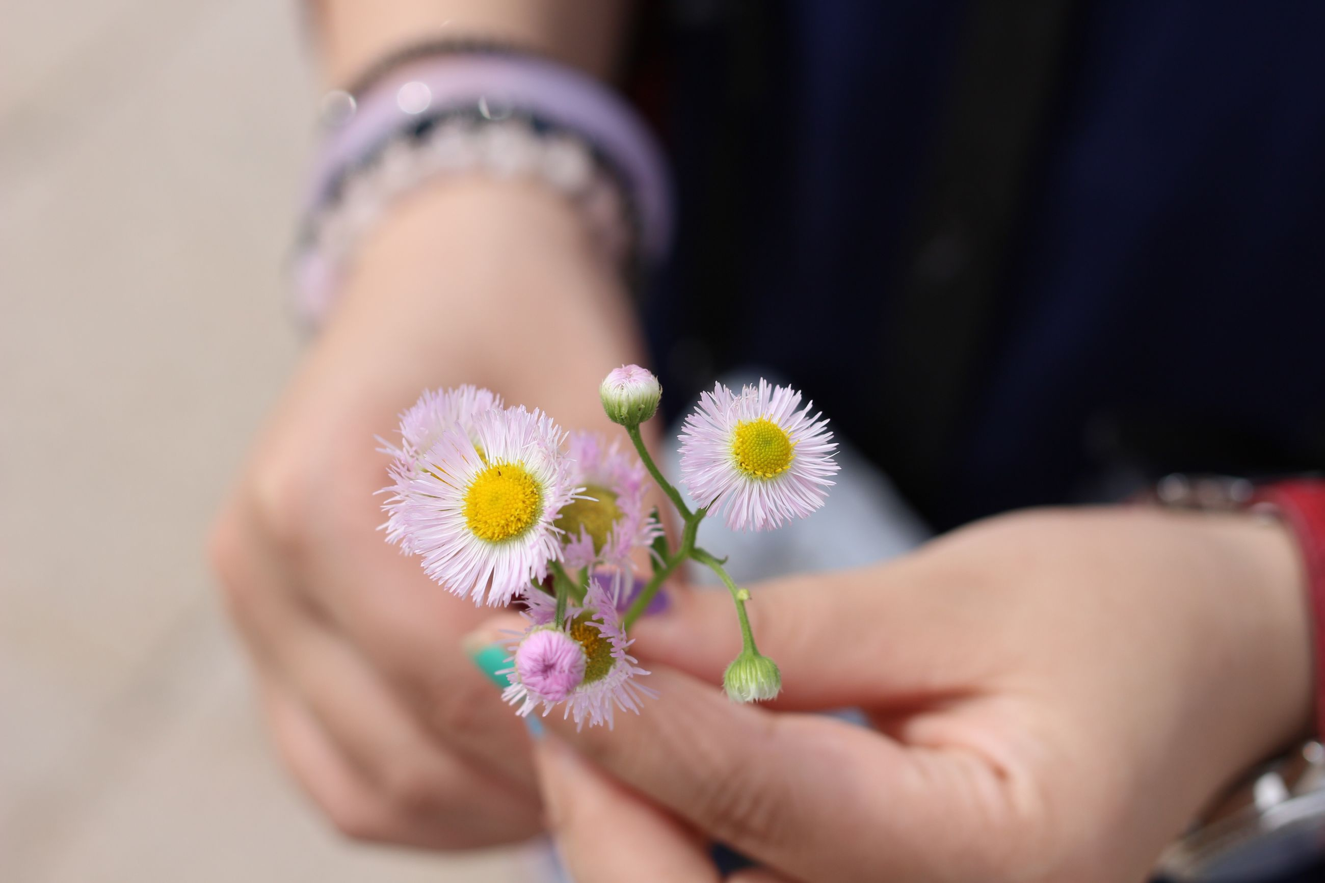 person, flower, holding, part of, fragility, human finger, freshness, cropped, flower head, focus on foreground, petal, unrecognizable person, lifestyles, personal perspective, daisy, leisure activity