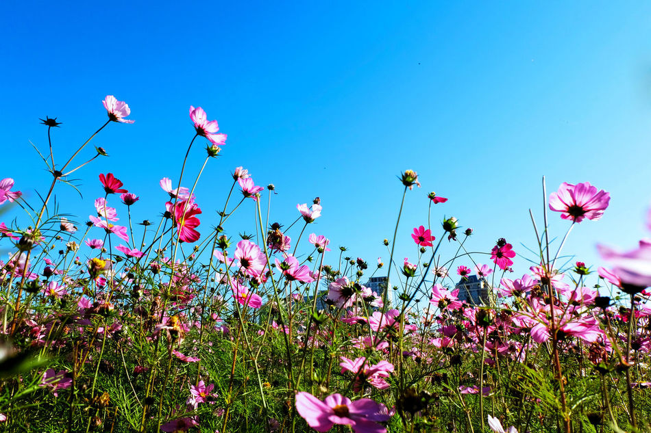 Galsang Flower Blooming Blossom Botany Flower Flower Head Focus On Foreground Fragility Freshness Galsang Flower Growing Growth In Bloom Nature No People Petal Pink Color Springtime Stem