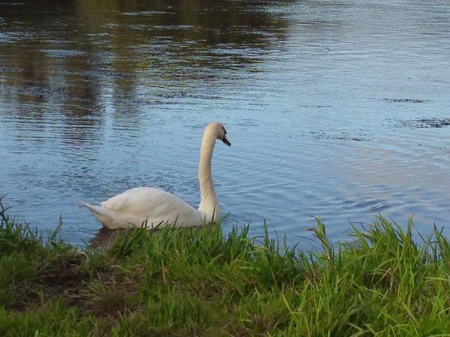 Animal Themes Animal Wildlife Animals In The Wild Bird Day Grass Lake Nature No People One Animal Outdoors Swan Water Water Bird White Swan