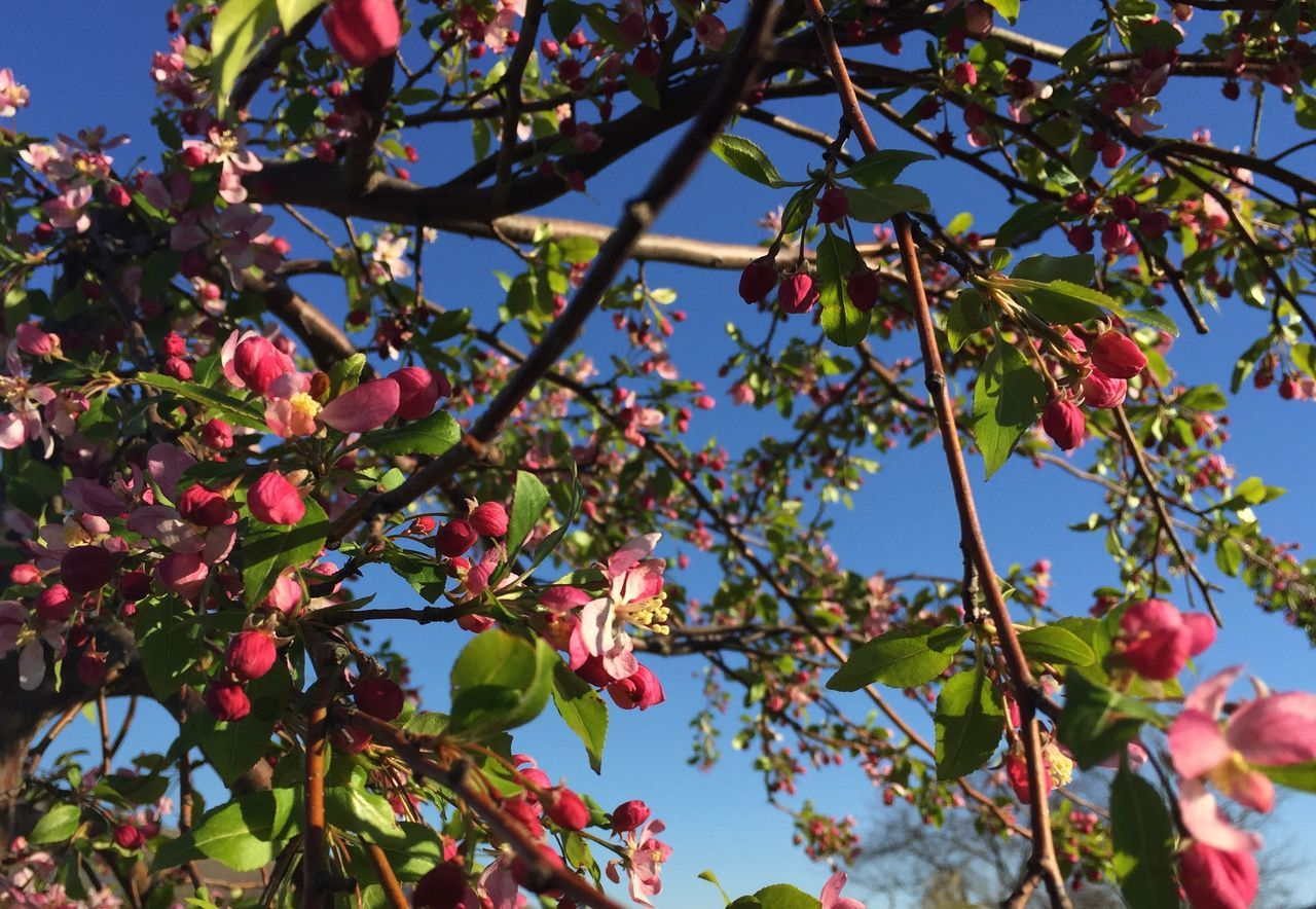 tree, growth, leaf, nature, fruit, branch, low angle view, beauty in nature, day, no people, food and drink, outdoors, freshness, plant, flower, close-up, fragility, sky