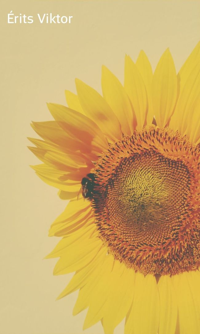 Sunflower Bumblebee Flower Evolution  Insect Dusting Minimal Szeged Hungary Summertime