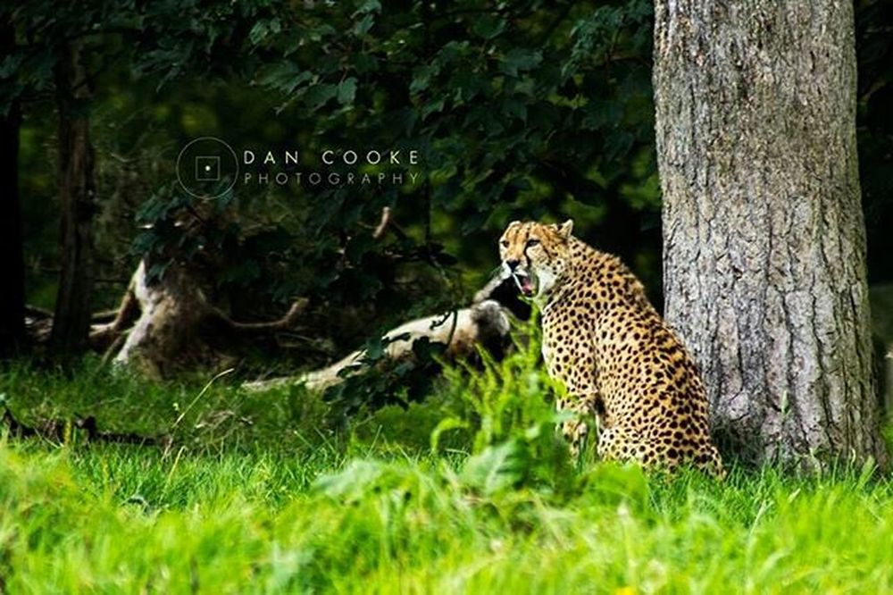 Yawn Longleatsafaripark Wildlife Bigcats @longleatofficial