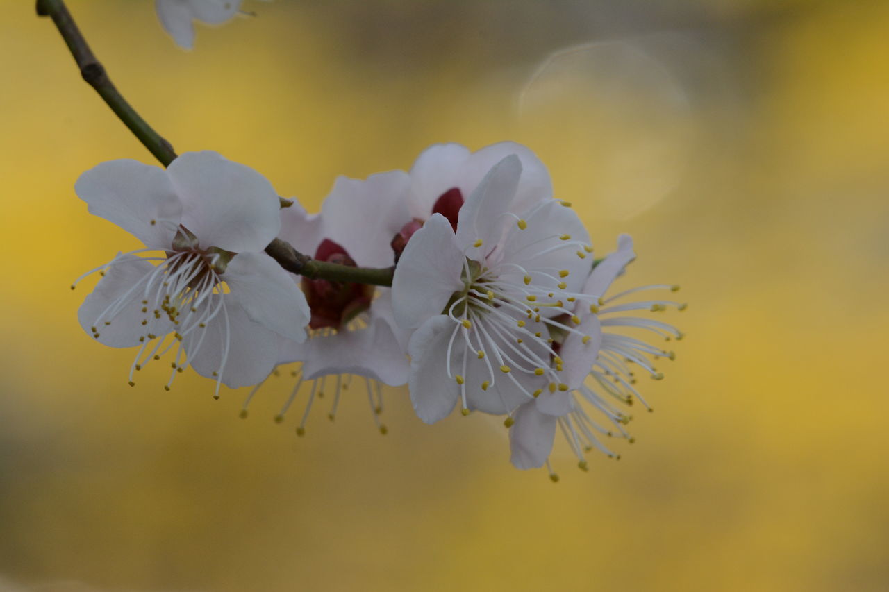 flower, fragility, petal, beauty in nature, nature, freshness, white color, flower head, growth, close-up, no people, selective focus, focus on foreground, day, springtime, outdoors, blooming, branch, tree