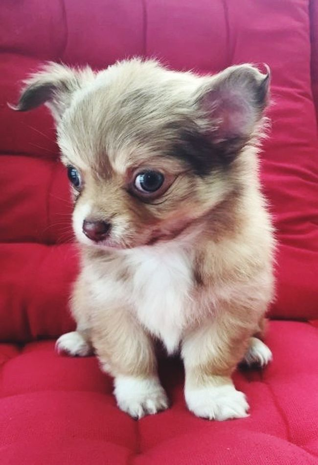 Our Chiuahua pup called Gorki 😊 Pets Dogs Puppies Puppy Love Pups Animals Doglover Puppy❤ Puppyeyes Dogslife Puppy Chiuahua Chiuaua PuppyLove Puppy Love ❤ Puppy Face Puppy Eyes Puppydog