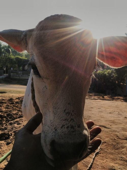 Baby Animals Cows Sunrise Sun Rays Animals In Captivity Indian Culture  Indian Cow Indian Belief Maximum Closeness