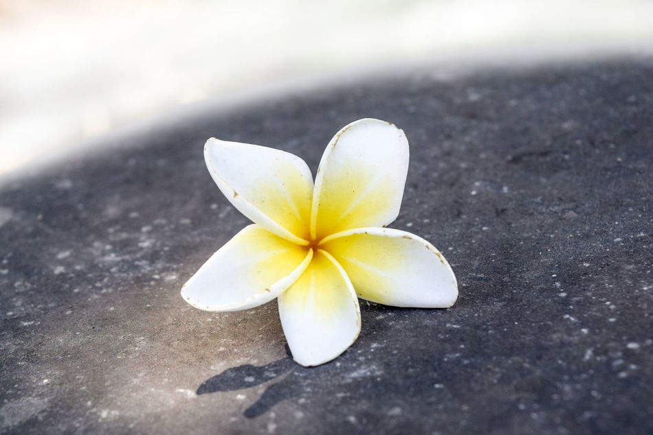 Beauty In Nature Close-up Day Flower Flower Head Fragility Frangipani Freshness Nature No People Outdoors Petal