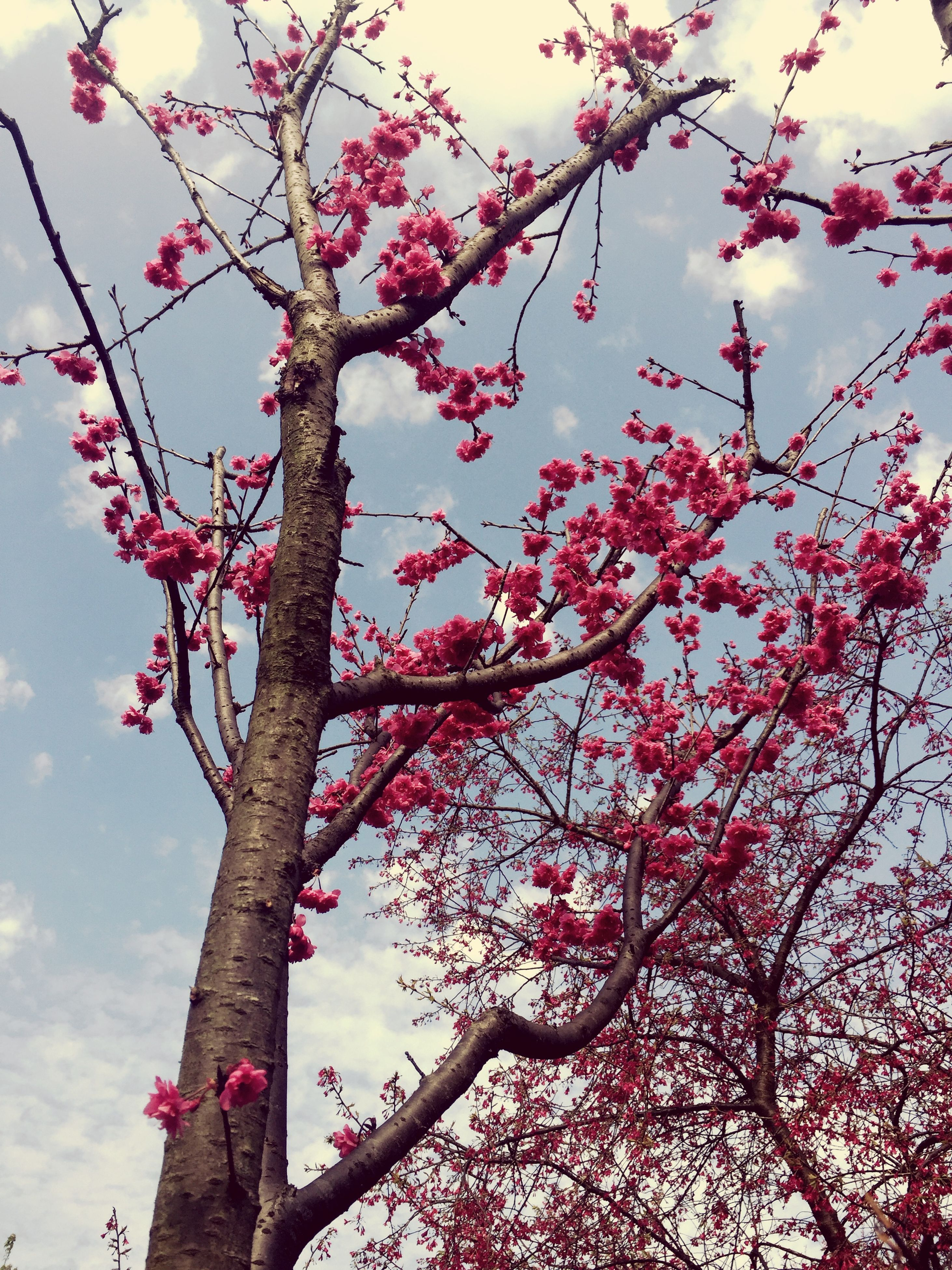 flower, low angle view, branch, tree, growth, pink color, freshness, sky, fragility, nature, beauty in nature, cherry blossom, cherry tree, blossom, blooming, in bloom, twig, springtime, day, outdoors