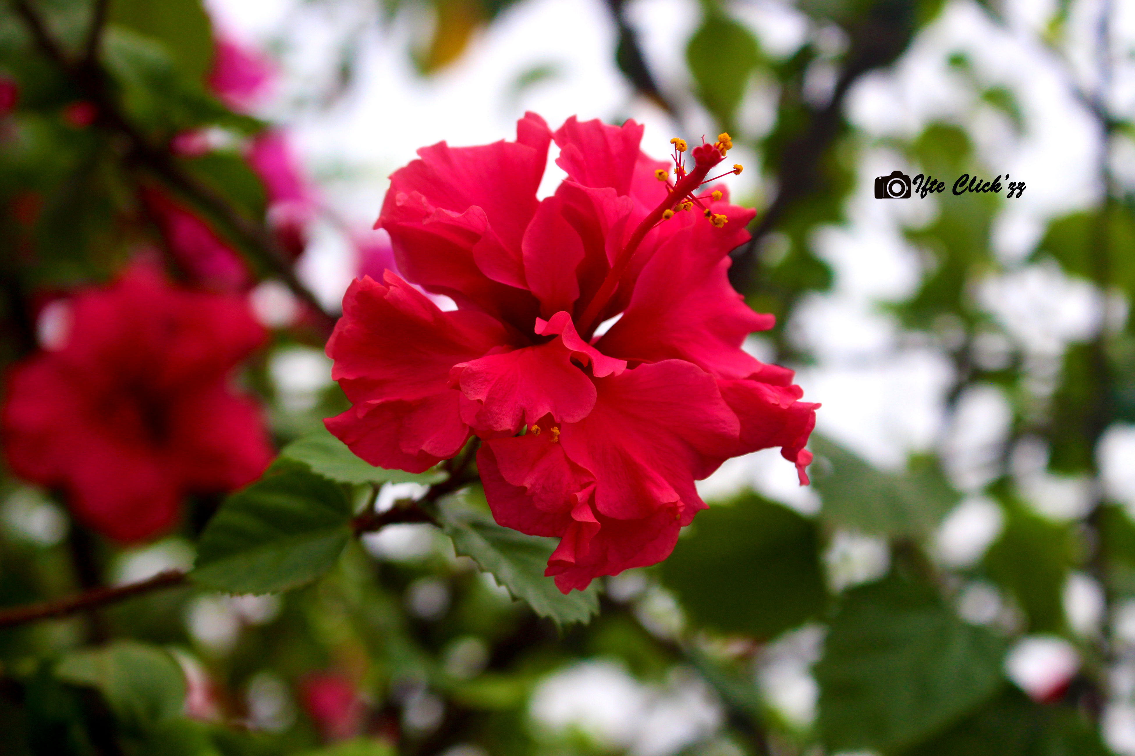flower, freshness, focus on foreground, petal, fragility, growth, close-up, beauty in nature, flower head, blooming, red, nature, pink color, day, outdoors, tree, park - man made space, in bloom, selective focus, plant