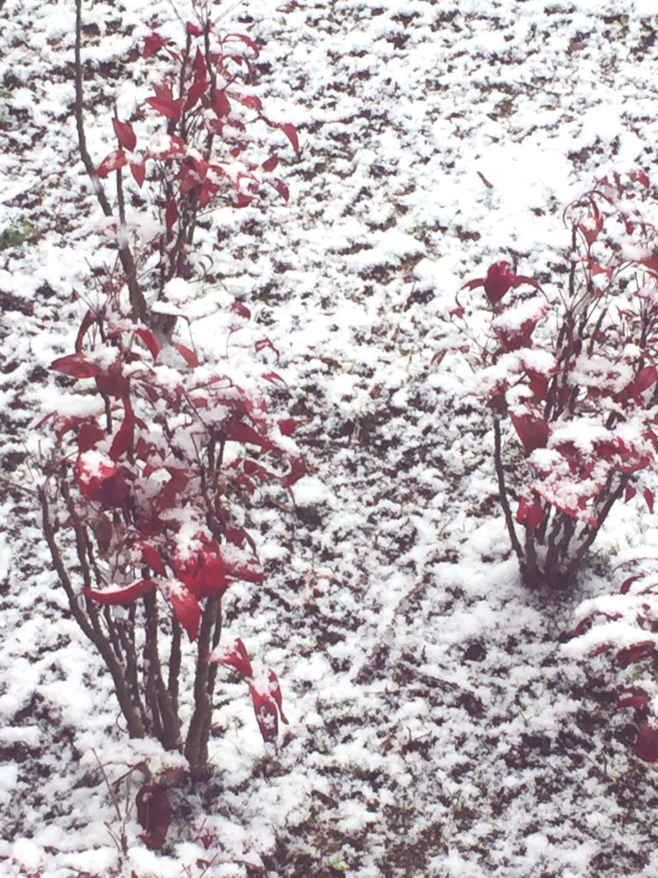 winter, snow, cold temperature, nature, weather, tree, beauty in nature, no people, outdoors, day, red, branch, frozen, tranquility, growth, close-up, freshness