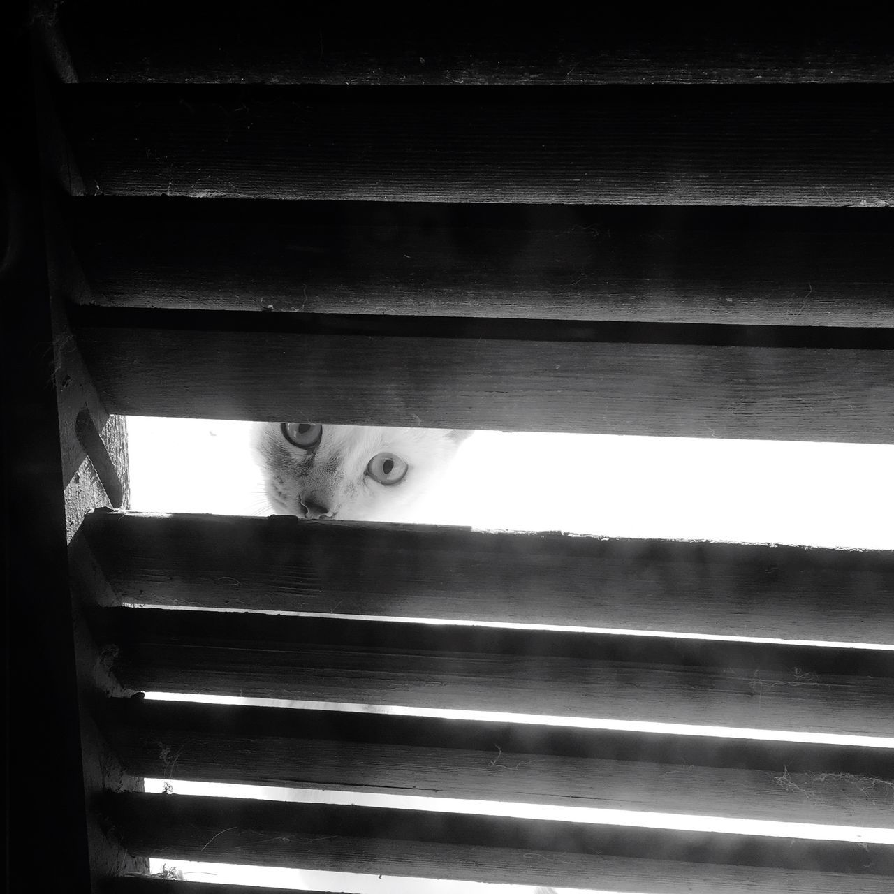 domestic cat, peeking, mammal, pets, looking at camera, one animal, feline, domestic animals, animal themes, looking, portrait, hiding, indoors, no people, day, close-up